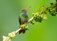 Rufous-tailed Hummingbird by Greg Lambeth