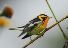 Blackburnian Warbler by Tim Krynak