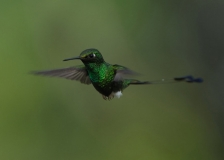 Booted Racket-tail by Tim Krynak