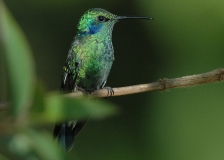 Green Violetear by Tim Krynak