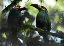 Plate-billed Mountain Toucans by Tim Krynak