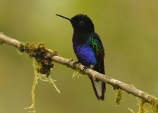 Velvet-purple Coronet by Tim Krynak