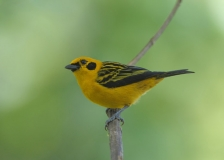Golden Tanager by Tim Krynak