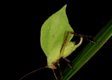Green-leaf Katydid by Tim Krynak