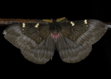 Noctuid Moth by Tim Krynak