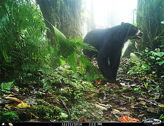 Spectacled Bear Caught on RLG TrailCam