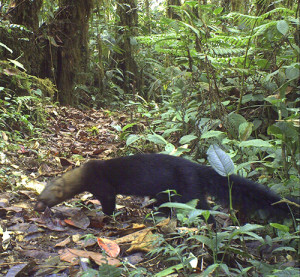 Tayra caught on a trailcam
