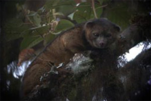 An olinguito in a Croton, one of the most common trees at Reserva Las Gralarias