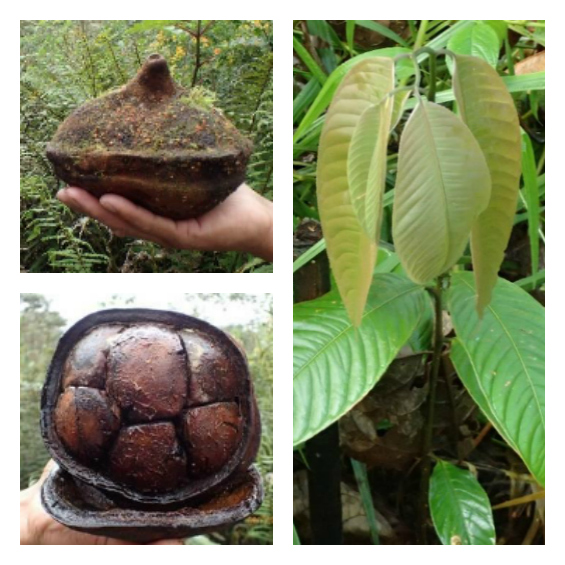 """At left, a Monkey Pot """"pot"""" and seeds; at right, a Monkey Pot tree seedling."""